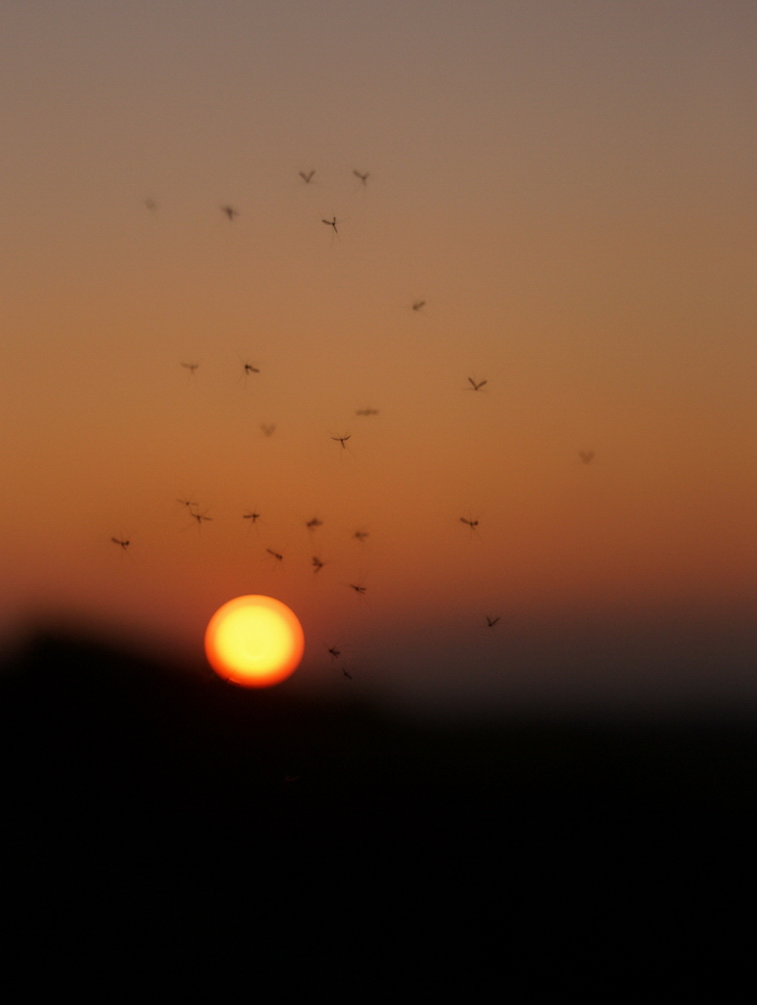 Midges Sunset - Zoomar 90mm 2.8